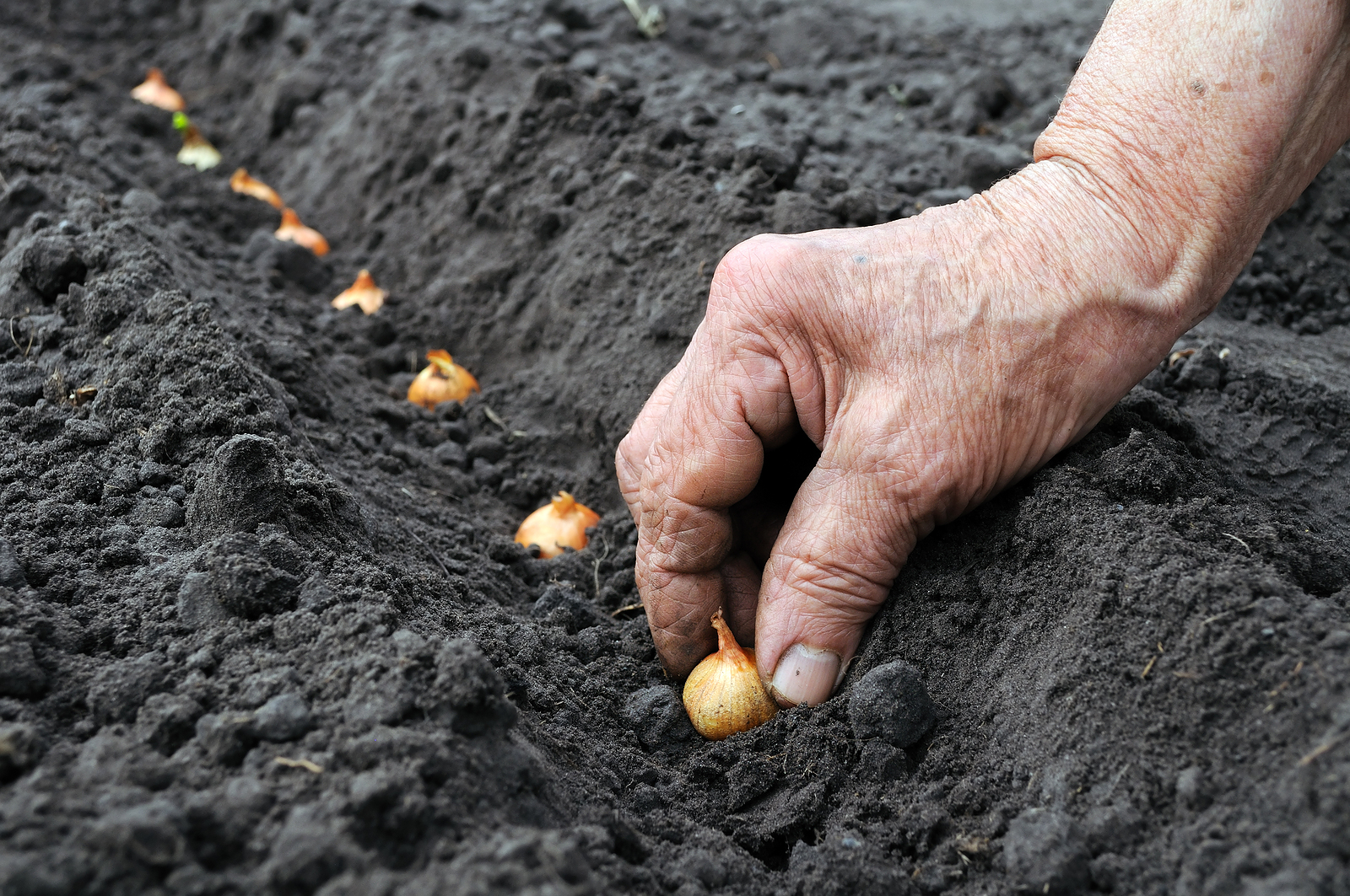 Onion-Planting