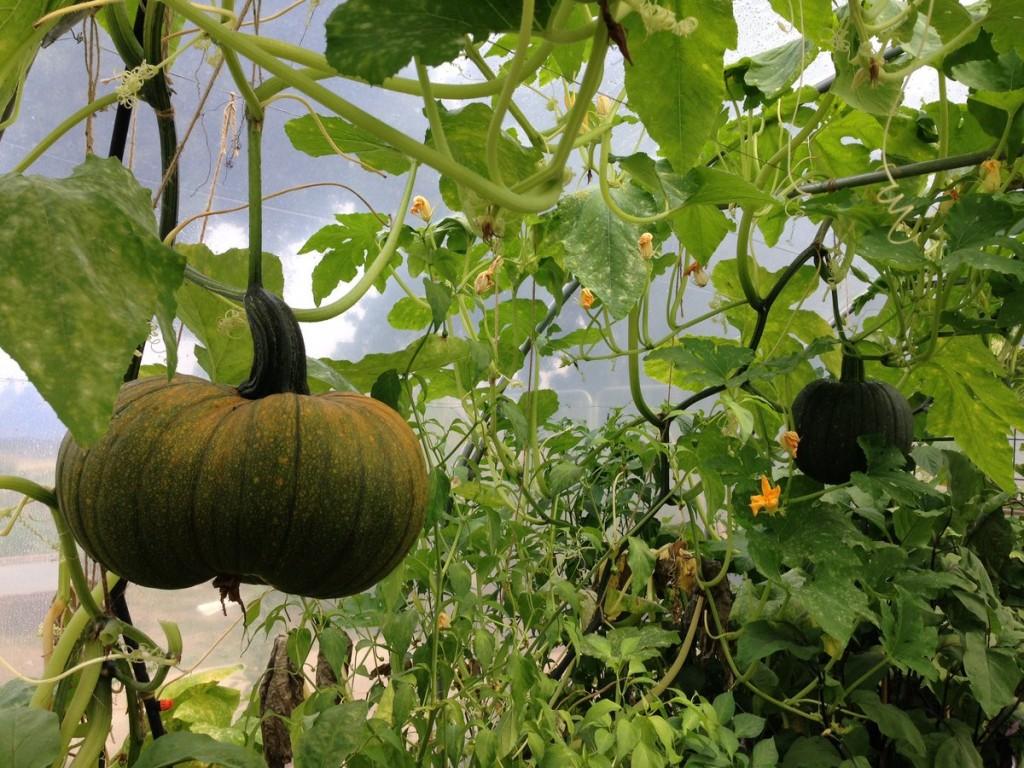 pumpkin-polytunnel