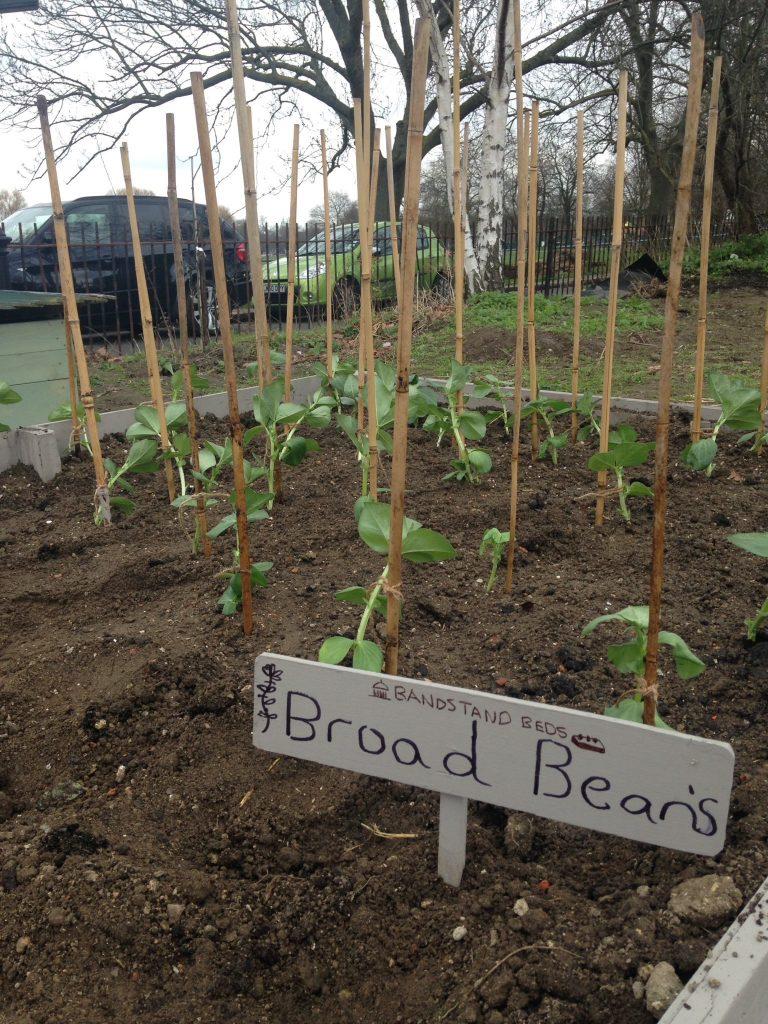 broadbeans
